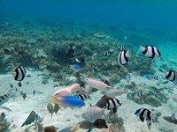 Tropical Fish, Malolo Lailai Island, Fiji Fine-Art Print