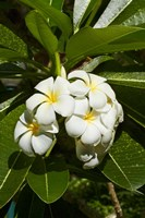 Frangipani flowers (Plumeria), Nadi, Viti Levu, Fiji Fine-Art Print