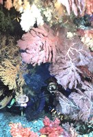 Diver Peers Out From Crevice, Flanked by Brilliant Sea Fans and Soft Corals, Fiji, Oceania Fine-Art Print
