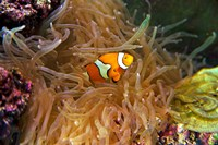 Close up of a Clown Fish in an Anemone, Nadi, Fiji Fine-Art Print