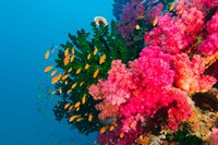 Multicolor Soft Corals, Coral Reef, Bligh Water Area, Viti Levu, Fiji Islands Fine-Art Print