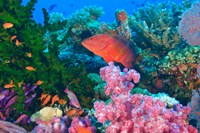 Fairy Basslet fish and Coral, Viti Levu, Fiji Fine-Art Print