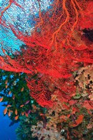Gorgonian Sea Fan, Fairy Basslets fish, Fiji Fine-Art Print