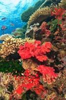 Fairy Basslet fish and Red Coral, Viti Levu, Fiji Fine-Art Print