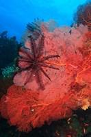 Pristine Gorgonian Sea Fans marine life, Fiji Fine-Art Print