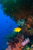 Yellow Damsel, Gorgonian sea fan, Fish, Fiji Fine-Art Print