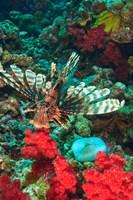 Lionfish, Rainbow Reef, Taveuni Island, Fiji Fine-Art Print