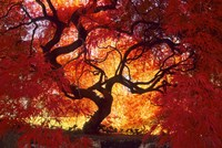 Japanese Maple, Darien, Connecticut Fine-Art Print