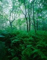 Forest Ferns in Misty Morning, Church Farm, Connecticut Fine-Art Print