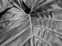 Big Leaf 2 Fine-Art Print