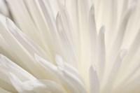 White Flower Fine-Art Print