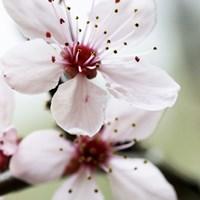 Cherry Blossom 3 Fine-Art Print