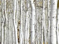 Birch Wood Fine-Art Print