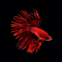 Red Betta Fish Fine-Art Print