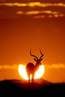 Impala In The Sun Fine-Art Print