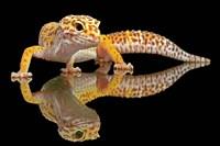 Leopard Gecko Fine-Art Print