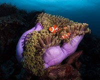 Clown Fish With Magnificent Anemone Fine-Art Print