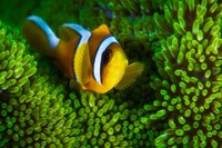 Yellow Clownfish On Green Anemon Fine-Art Print