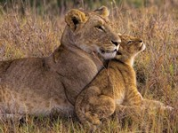 Baby Lion With Mother Fine-Art Print