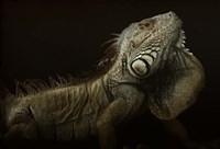 Iguana Profile Fine-Art Print
