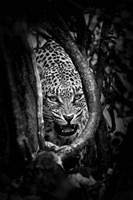Leopard's Lair Fine-Art Print
