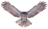 Power - Great Grey Owl Fine-Art Print