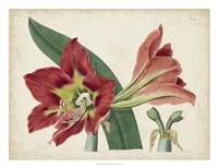 Amaryllis Splendor I Fine-Art Print