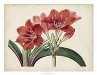 Amaryllis Splendor II Fine-Art Print