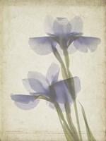 Parchment Flowers VIII Fine-Art Print