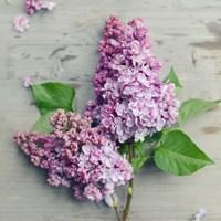 Fresh Lavender Blooms Fine-Art Print