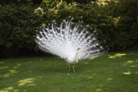 Peacock Fine-Art Print