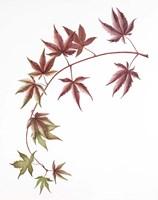 Japanese Maple Fine-Art Print