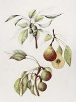 Pine Street Pears Fine-Art Print
