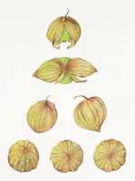 Tomatillos Fine-Art Print