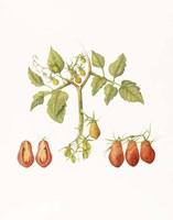 Growing Romas Fine-Art Print