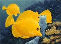 Yellow Tangs Fine-Art Print