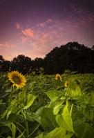 Sherbet Sunflowers Fine-Art Print