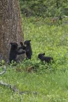 3 Black Bear Cubs (YNP) Fine-Art Print
