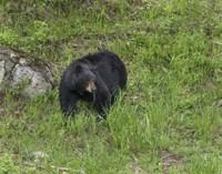 Black Bear (YNP) Fine-Art Print