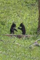 Black Bear Cubs (YNP) Fine-Art Print