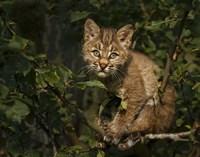 Bobcat Kitten On Branch Fine-Art Print