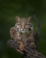 Bobcat Poses On Tree Branch 2 Fine-Art Print