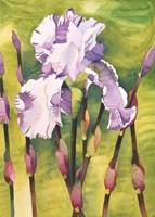 Forest Iris Fine-Art Print