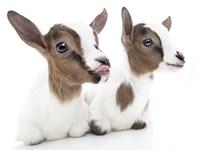 Goats 1 Fine-Art Print