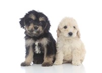 Puppies 68 Fine-Art Print