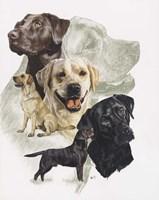 Labrador Fine-Art Print