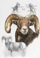 Big Horn Sheep Fine-Art Print