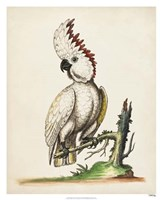Edwards' Cockatoo Fine-Art Print