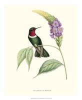 Hummingbird & Bloom II Fine-Art Print