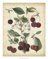 Calwer Common Cherry Fine-Art Print